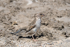 Moineau gris des plages_8056 (lucbarre) Tags: oiseau oiseaux moineau moineaux sable plage gris plumage extérieur exterior bird birds