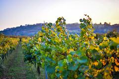 GiriSunsetleavesRodello2 (36 of 1) (sassiitalytours) Tags: wine piemonte castle rodello langhe altalanga vino winetours