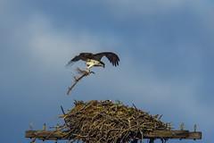 Osprey3May20-17 (divindk) Tags: falcohaliaeetus klikitatcounty bird birdofprey fisheagle fishhawk nest osprey perch raptor riverhawk
