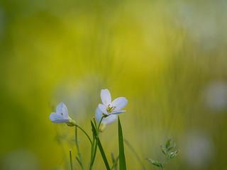 Pinksterbloem - Cardamina pratensis