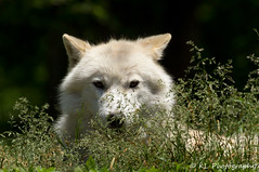 Arctic wolf (jklaroche) Tags: parcomega