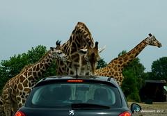 Carwash Safaripark Beekse Bergen (Autosafari) (ditmaliepaard) Tags: safaripark beeksebergen hilvarenbeek giraffen autosafari a6000 sony