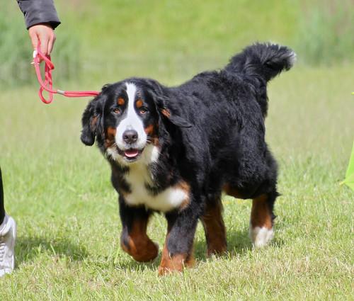 Bernese Mountain Dog at dog show