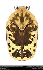 Harlequin Flower Beetle (Scarabaeidae, Gymnetis caseyi (Antoine, 2001)) (insectsunlocked) Tags: coleoptera scarabaeidae cetoniinae gymnetini gymnetis gymnetiscaseyi harlequinflowerbeetle