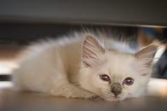 Sleepy Ylva (JeffMoreau) Tags: ylva kitten balinese kittycat cat sleepy azureys sony a7ii bokeh bokehlicoius 90mm