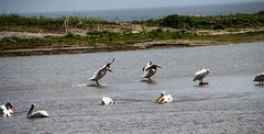 Landing (Images by MK) Tags: americanwhitepelicans bird birds pelican pelicans water wisconsin wi
