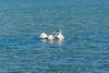 Let's talk, violence is not the solution (lorenzoviolone) Tags: d5200 dslr fuji astia 100f nikon pond reflex vsco vscofilm attacking birds discussion flamingo flamingoes travel:sardinia=mayjune17 fujiastia100f nikond5200 domusdemaria sardegna italy fav10