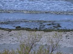 Algas en la playa de Puerto Madryn (Ana_1965_2010) Tags: fotografiadenaturaleza naturaleza natura nature natur playa beach arena sand agua water eau acqua mar mare meer sea seascape algas puertomadryn madryn anawilli