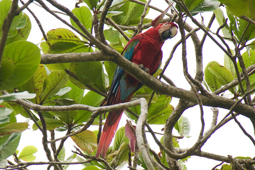 brazil-pantanal-caiman-lodge-scarlet-macaw-tree-copyright-thomas-power-pura-aventura