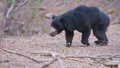 Sloth Bear - India (Raymond J Barlow) Tags: bear sloth indiatour wildlife travel workshop phototours raymondbarlow nature naturallight