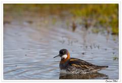 L'agitée de l'étang ! (C. OTTIE et J-Y KERMORVANT) Tags: animaux oiseaux phalarope phalaropeàbecétroit femelle étang fjords fjordsdunordouest islande