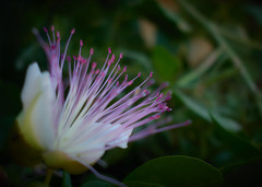 Caper flower (philippa huber) Tags: caper flower macro nature purple malta