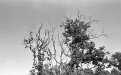 Skyward (Arne Kuilman) Tags: castricum bomen kentmere kentmere100 iso100 blackandwhite homedeveloped rodinalspezial rodinal 135 yashica yashica35gx gx k100 scan epson v600 1200dpi 354311 film believeinfilm rangefinder manualfocus noordhollandsduinreservaat