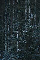 Great grey owl (Andrea Zampatti_Wildlife Photographer) Tags: allocco di lapponia great grey owl lapland finland finlandia north forest snow wildlife bird zampatti andrea