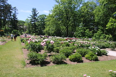 Visit to the Peony Gardens, Nichols Arboretum (University of Michigan, Ann Arbor) - June 2, 2017 (cseeman) Tags: universityofmichigan nicholsarboretum arboretums michigan annarbor thearb parks trails trees nature peonies peonygarden bloom spring flowers plants nicholspeonies06022017 nicholspeonies2017