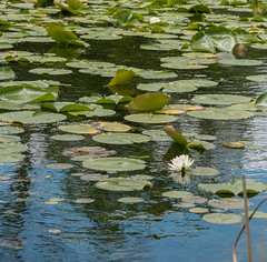 The lily pond (after Claude Monet ;) (Lena and Igor) Tags: nature lily flower water leafs reflection monet white blue