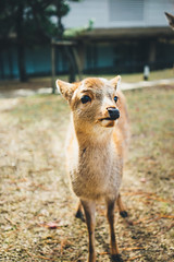 NARA (spaceabstract) Tags: animal asia cute deer deerpark film green japan kyoto nara nature park portrait sony travel vsco wildlife