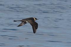 Pomarine Skua (Tim Melling) Tags: stercorarius pomarinus pomarine skua jaeger alaska timmelling