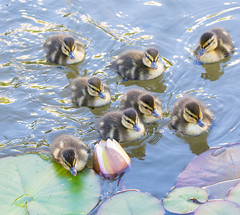 A new Adventure. (Omygodtom) Tags: wildlife usgs urbunnature dof d7100 ducks bird bokeh birds tamron90mm digital portrait pond outdoors outside nature nikkor nikon naturelovers contrast farm wet world