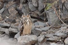 Don't angry me! (harshithjv) Tags: bird birding owl rock rockeagleowl eagleowl bubo bengalensis aves avian chordata strigiformes strigidae canon 600d tamron bigron g2 hampi karnataka india