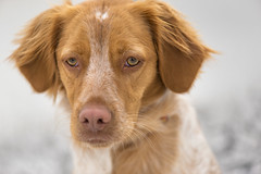 Momo, gran modelo (Miguel Ángel 13) Tags: perro cane dog animal retrato ritrato portrait avilés asturias luz natural macro 105 mm iso 640 ojos ojo eyes eye mirada