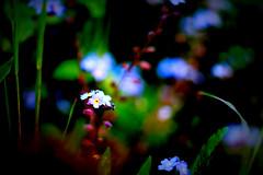 DSC03402.tif (Michael Rasmussen) Tags: flower flowers amount alpha sony sonya99 sonyalpha michaelrasmussen minoltaamount holbaekdenmark holbækdanmark holbaek holbæk kikhøjparken