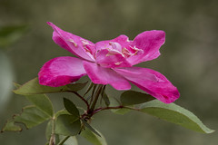 Pink Rose in full bloom (Mr. D 2012) Tags: pink bloom rose nature flower full blossom beautiful floral romance gift beauty garden valentine fresh love romantic petal anniversary background affection natural plant petals valentines decoration flora elegant gardening blooming