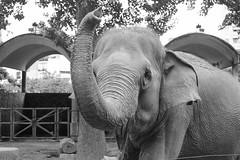 Hello world <3 (lin.chinhu) Tags: elephant big huge massive bigguy animal animalplanet sad sadness eyes saigon vietnam zoo thezoo blackandwhite bư portrait bw