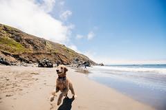 Chase (DEARTH !) Tags: california roadtrip beach ocean bayarea run chase muirbeach dog marincounty dearth northerncalifornia wetdog pacific fetch