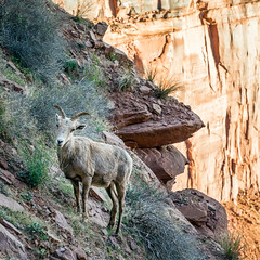 Bighorn Mama (Kirk Lougheed) Tags: canyonlands canyonlandsnationalpark coloradoplateau shafertrail usa unitedstates utah animal bighorn bighornsheep ewe landscape nationalpark outdoor sheep