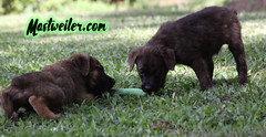 Ace & Tabasco, 8 Weeks (muslovedogs) Tags: dog mastweiler puppy rottweiler mastiff
