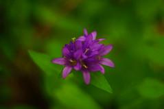 Purple (FiddleHiker) Tags: purple flowers closeup hbw bokehwednesdays bokeh supertakumar50mmf14 green
