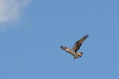 Osprey (Pandion haliaetus) (Baldyal) Tags: osprey bird prey wildlife venuspool shropshire
