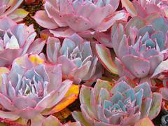 Field of Echeveria (Martha J Spelman) Tags: succulent succulents echeveria field annenberg photomanipulation postprocessing color vibrantcolor enhanced pink blue likeapainting