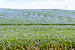 Linseed (flaxseed) ... (Jackie L Matthews) Tags: flaxseed linseed summer crop agriculture