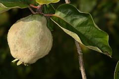 Cydonia oblonga, le coing ou pomme d'or, poire de Cydonie. (chug14) Tags: plantae plante fleur flower rosaceae coing pommedor poiredecydonie quince cognassier cydoniaoblonga