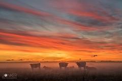 'The sky on fire' (melvinjonker) Tags: morning foggy mothernature naturelovers landscape sony skypainters skyart sky colours sunrise sun fog mist animals cows nature hoogkerk groningen