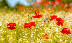 let's celebrate 慶祝 (T.ye) Tags: celebration flowers poppy bokeh white red flower canada day