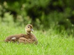 Mandarin duckling (PhotoLoonie) Tags: mandarinduck duck mandarinduckling duckling wildlife nature