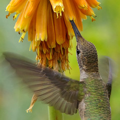 Black-chinned Hummingbird (Archilochus alexandri) feeding on a poker plant.  Albuquerque, New Mexico, USA. (cbrozek21) Tags: blackchinnedhummingbird archilochusalexandri hummingbirdfeeding pokerflower newmexico hummingbirdflying hummingbird picaflor colibri birdwatcher fantasticnature pentaxart