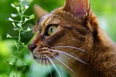 Lizzie soft (DizzieMizzieLizzie) Tags: abyssinian aby beautiful wonderful lizzie dizziemizzielizzie portrait cat chats feline gato gatto katt katze katzen kot meow mirrorless pisica sony a6500 sigma