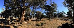Arkaba Trees IMG_1265es (Bush Philosopher - Dave Clarke) Tags: australia flindersranges southaustralia tree gumtree arkabacreek riverredgum