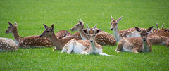 The Fairest of them ALL (Amy Maher) Tags: babydeer wildlife nature peaceful uk grass spots brown white whitefawn fawn bambi dear deer
