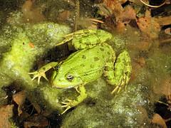 Grenouille (jean-daniel david) Tags: grenouille vert eau étang nature closeup macro batracien amphibien réservenaturelle frog