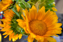 DMT_20170531175036 (Felicia Foto) Tags: allrightsreserved denisetschida 1xp highdynamicrange photoshop photomatix sunflower nikon nikond600 d600 colorful yellow green flora hdrfromasingleraw botanical helianthus geotagged cutflowers flower flowers tennessee middletennessee williamsoncountytennessee thompsonsstationtennessee indoors golden