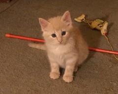 Percival (Philosopher Queen) Tags: fosterkitten kitten chat gato gatito percy percival names naming