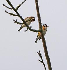 Pair of gold finches (Matt C68) Tags: gloucester park basildon essex bird songbird nature wildlife gold finch goldfinch carduelis cardueliscarduelis