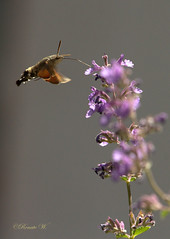 Hummelschwärmer... (Renata1109) Tags: insekten hummelschwärmer sommer katzenminze blüten lila nektarsuche nektar