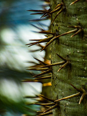 First Name Spike (Steve Taylor (Photography)) Tags: cacti cactus thorn blue green yellow white closeup macro eerie asia singapore plant bokeh silhouette shadow spike