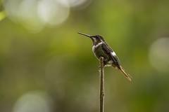 Amethyst Woodstar (miTsu-llaneous) Tags: amethystwoodstar calliphloxamethystina bird hummingbird nature animal wildlife nikon d5200 nikkor 70300mm yerrette trinidad